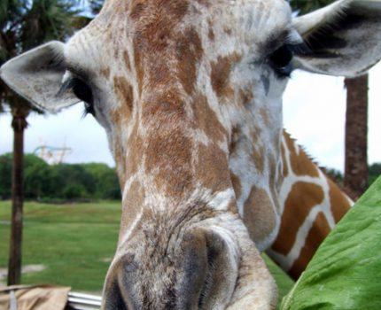 Busch Gardens: alimentar girafas no Serengeti Safari!