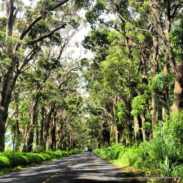 Tree Tunel Kauai