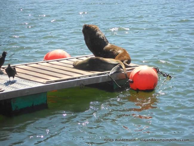 leoes-marinhos-valdivia-chile